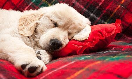 puppy with holiday blanket